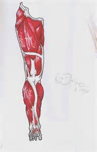 leg muscle illustration picture 10