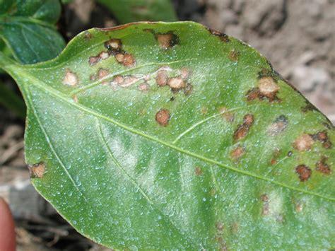 bacterial diseases in plants picture 2
