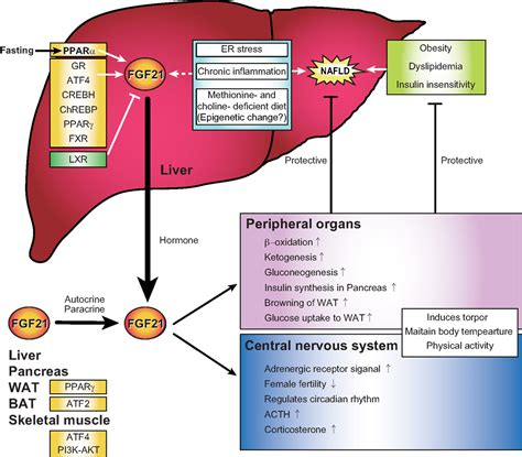 functions of the liver picture 2