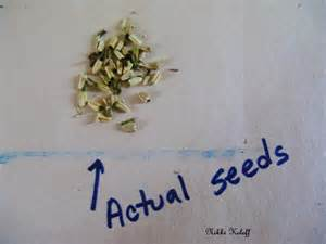echinacea seeds picture 6