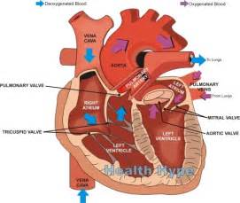 heart blood flow order picture 11