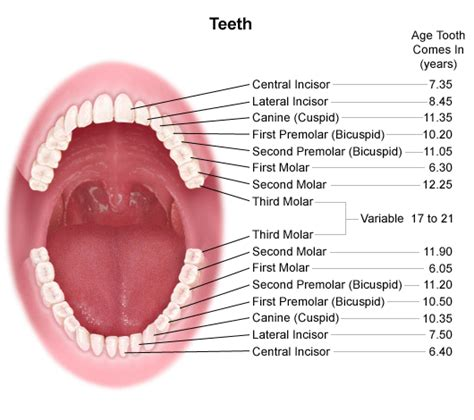 anatomy of the teeth picture 10
