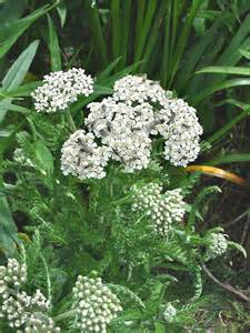 yarrow flower picture 9