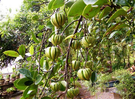 garcinia cambogia tree picture 2