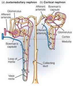 cortical blood flow picture 3