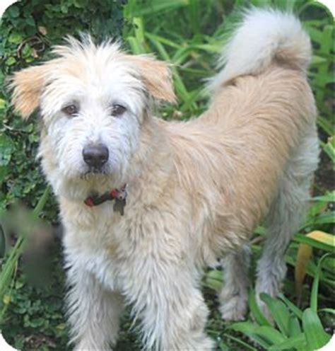 wire hair terrier rescue picture 6