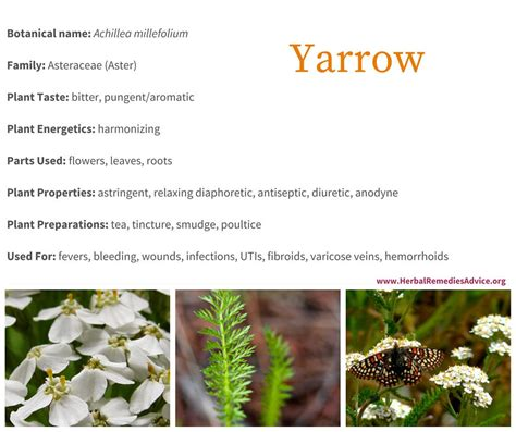 yarrow use picture 10