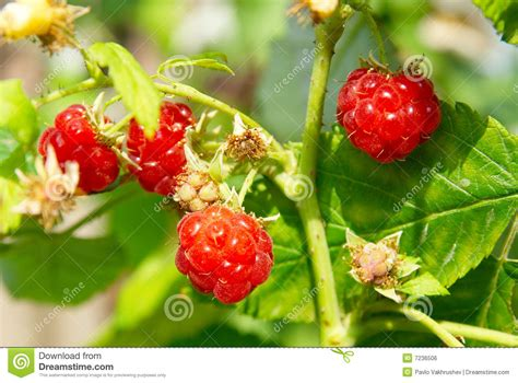 wild red raspberries picture 18
