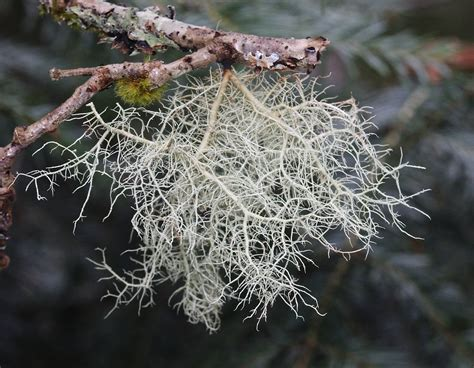 spilanthes usnea tincture ''side effects picture 1