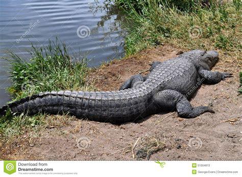 alligators sleep picture 3