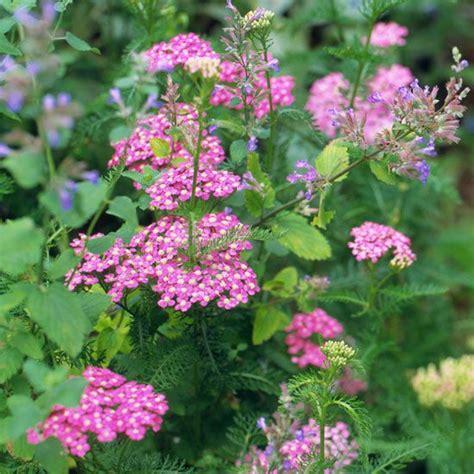 deadhead flowers yarrow picture 14