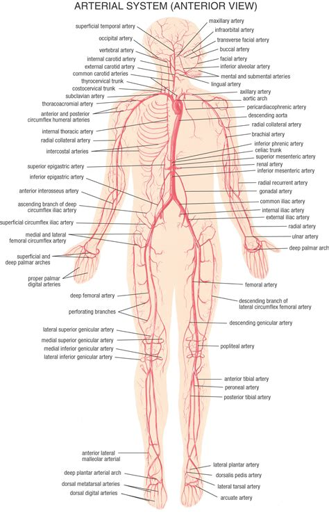 fetal blood and circulation picture 9