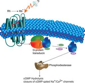 is rhodopsin located in skin cells picture 2