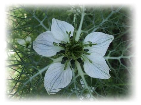 fennel herb and diabetes picture 6