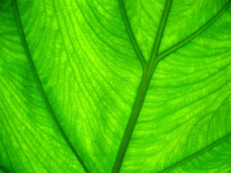 green leaf picture 2