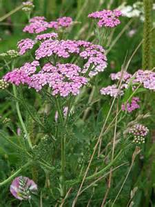 yarrow herb picture 1