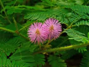 health benefits of makahiya plants picture 6