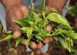 egypt plant stimulants picture 1