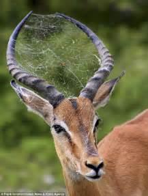 will deer antler spray make my boobs bigger picture 11
