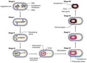 bacterial spores free spore forespore cortex spore coat picture 7