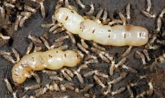 pheromones of termites picture 13