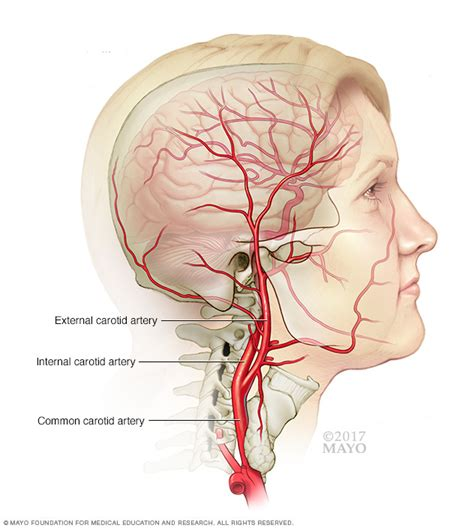 blood vessels and circulation picture 7