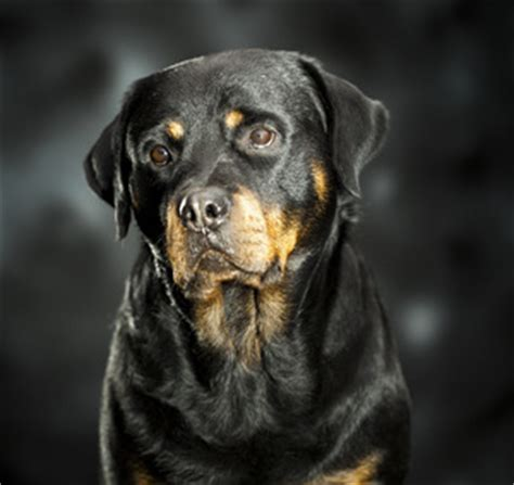aging care for rottweilers picture 2
