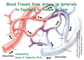 blood flow through the capillaries picture 5