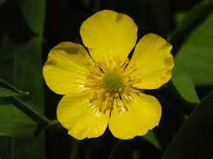dandelion for health picture 13