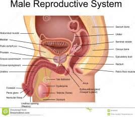 ejaculation mri picture 6