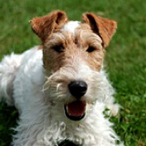 wire hair fox terrier rescue picture 19