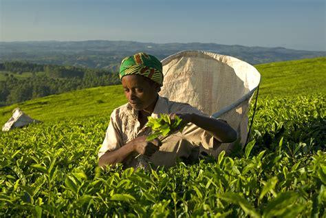 can women take rhino tea picture 10