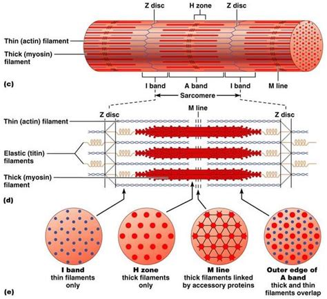 contraction in skeletal muscle tissue picture 14
