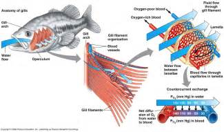 blood flow of bony fish picture 7