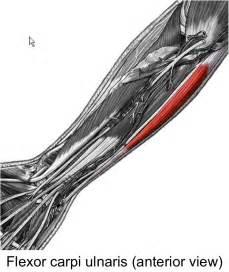 flex carpi radialis muscle picture 17