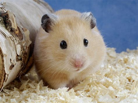 hamster videos picture 10