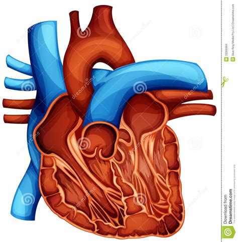 blood circulation in human picture 5