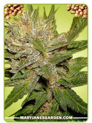 the herbal use of yohimbe herb seeds feminized picture 14