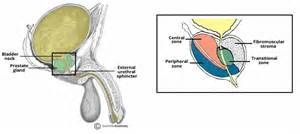 Where is the prostate picture 11