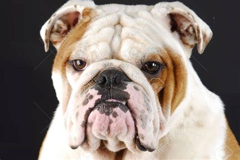 bulldogs with teeth picture 3