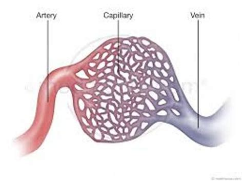 facts about the capillaries picture 1