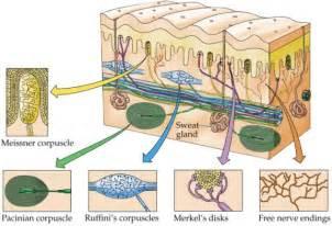 mechanoreceptors in skin picture 3