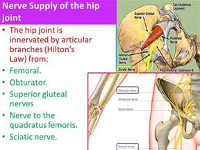 hip joint nerves picture 5