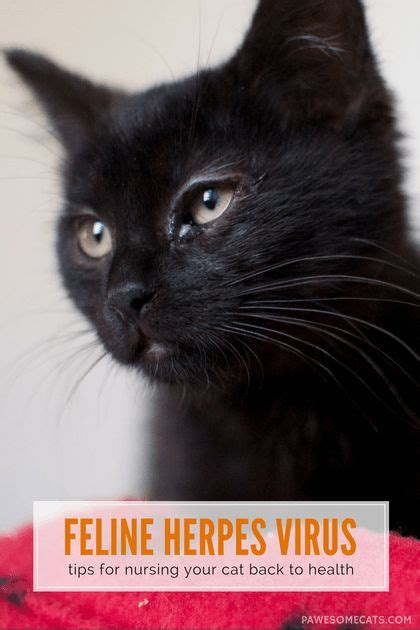 is feline herpes virus endemic to shelters picture 5