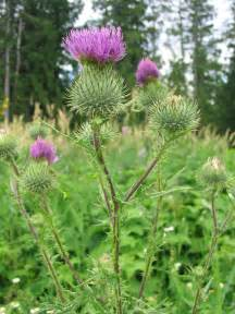 thistle picture 3