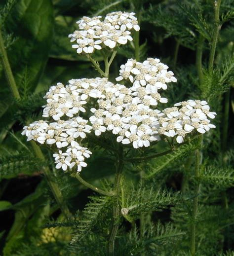 yarrow picture 7