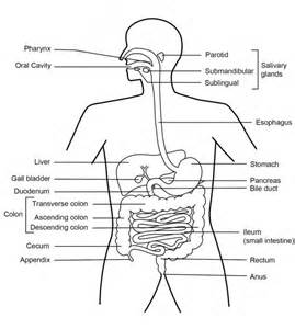 diagrams showing the digestion process picture 11