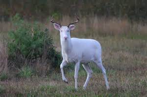 how do you get an albino deer picture 14
