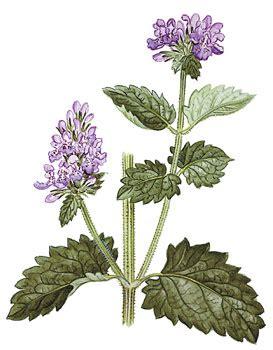 herbs causing euphoria picture 2