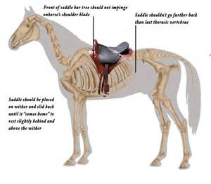 horses and cinch muscle tears picture 6